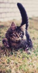 classic maine coon kitten