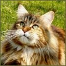 maine coon cat information