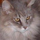 silver maine coon mix