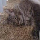 silver gray maine coon mix