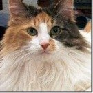 calico maine coon mix