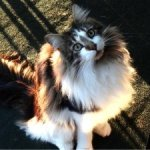 maine coon brown with white