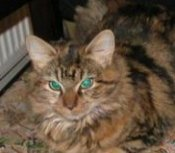 magrat the maine coon mix