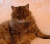 penny the maine coon mix