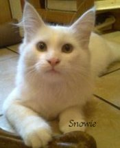 Snowie is a handsome White Coonie