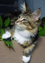 brown tabby with white maine coon kitten