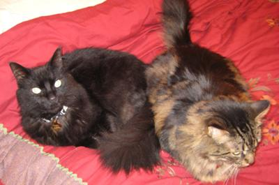 dante inferno and tara fi two maine coons