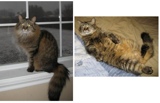 dido the maine coon mix