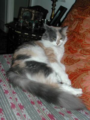 wolverina the female calico maine coon