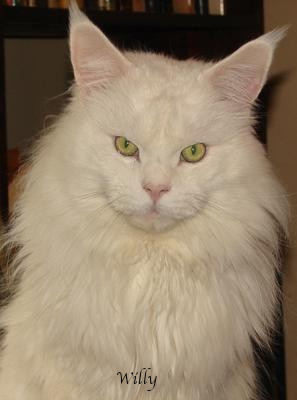 Willy is an absolutely stunning White Maine Coon