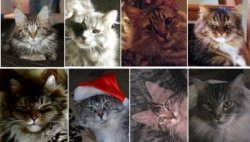 december maine coon cat pictures