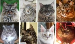october maine coon cat pictures