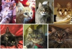 november maine coon cat pictures