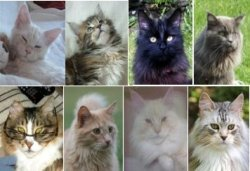 september maine coon cat pictures