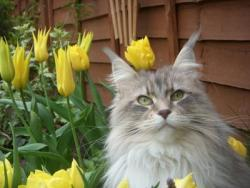 Maisey the Maine Coon Cat