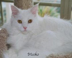 Meeko is a bright and beautiful Coonie