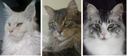 august maine coon cat pictures