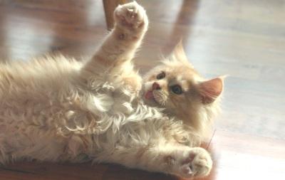 cute maine coon kitten playing