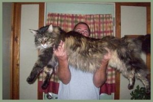 huge maine coon cat