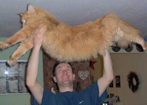 very huge maine coon cat