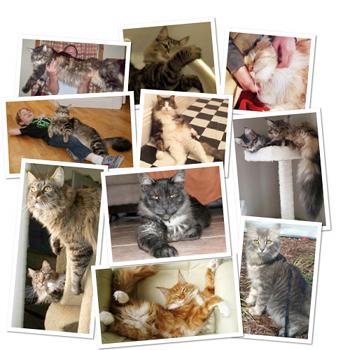 Maine Coon Families