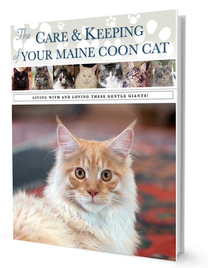 The Care & Keeping Of Your Maine Coon Cat