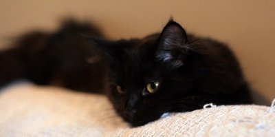 black smoke maine coon cat resting