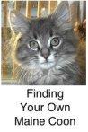 silver tabby maine coon kitten