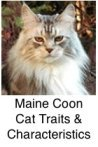 maine coon classic silver