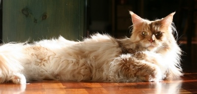 handsome big maine coon cat in the sunshine