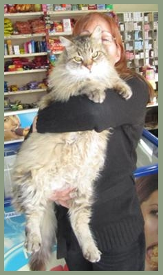 very big maine coon cat with woman