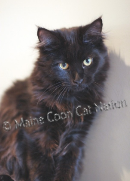 beautiful black maine coon cat