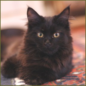black maine coon cat color