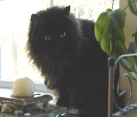 black maine coon cat in the window