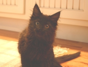 curious black maine coon kitten