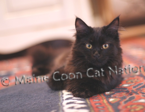 stunning black maine coon photo