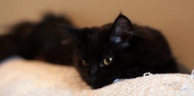 portrait of beautiful black maine coon cat