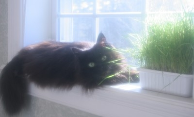 black smoke maine coon cat in windowsill sunshine