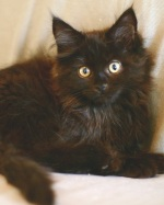 cute black maine coon kitten