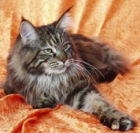 beautiful tabby maine coon cat