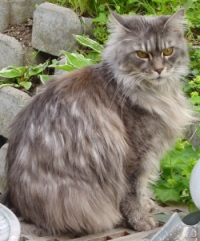 blue silver tabby mackeral maine coon cat