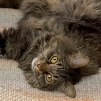 brown tabby maine coon cat looking into the camera