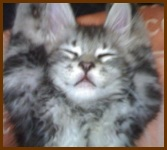 silver maine coon kitten sleeping