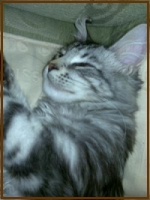 cute silver maine coon kitten resting