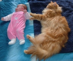 adult maine coon cat with young baby