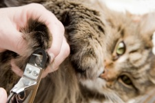 Maine Coon Cat getting his nails clipped