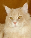 champion maine coon cat