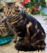 classic brown tabby maine coon cat color