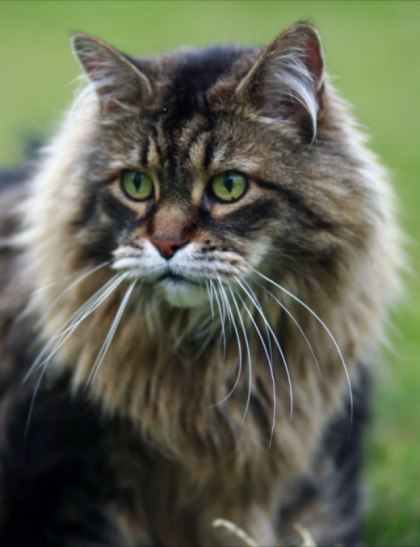 gorgeous big brown classic maine coon