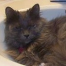 maine coon in sink